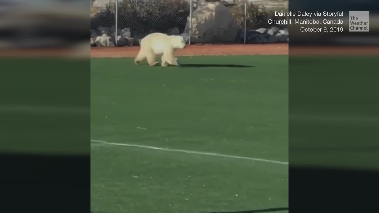 A young polar bear got too close to town and was spotted running across a baseball field in Churchill, Manitoba, in central Canada.