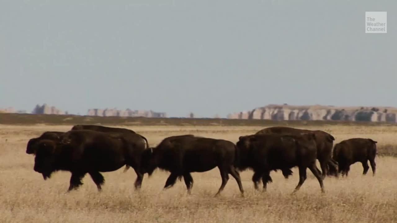 Eine Spendensammlung von Tierschützern hat beinahe 750.000 US-Dollar eingebracht. Damit soll Bisons ihr Land zurückgegeben werden. 90 Quadratkilometer Fläche wurden dem Badlands-Nationalpark hinzugefügt und nun dürfen die Tiere das erste Mal seit 1870 ihr Heimatland wieder betreten.