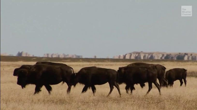 Nach über 100 Jahren: Bisons bekommen ihre Heimat zurück