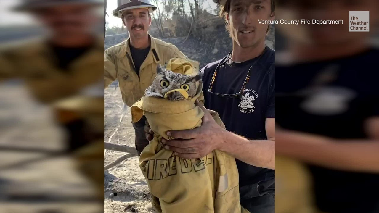 An owl, nicknamed Ram by firefighters, was rescued from the Maria Fire in Ventura County.