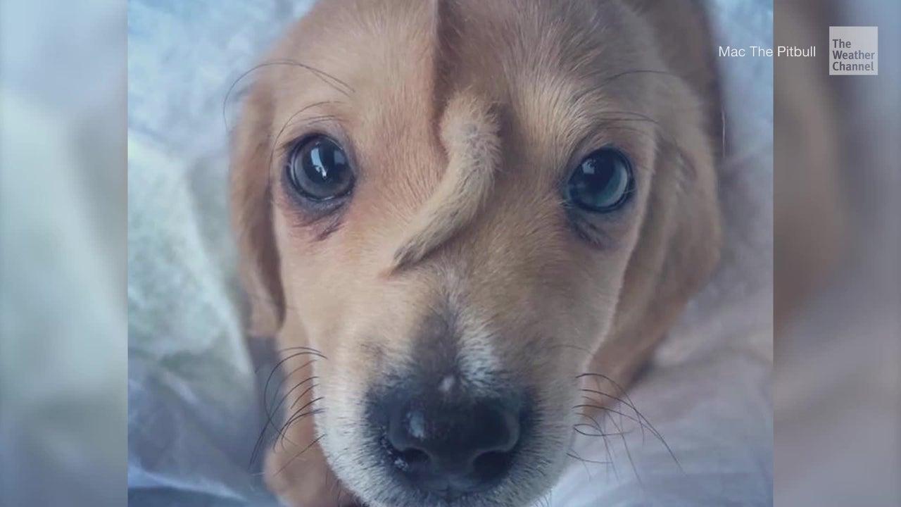 """Narwhal ist ein süßer kleiner Hundewelpe mit einem ungewöhnlichen Fortsatz im Gesicht. Dieser bringt ihm den Spitznamen """"Einhorn-Welpe"""" ein. Der Kleine wurde von der Straße gerettet."""