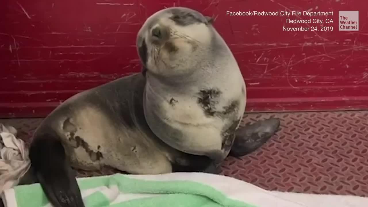 Adorable bebé foca es rescatada por bomberos