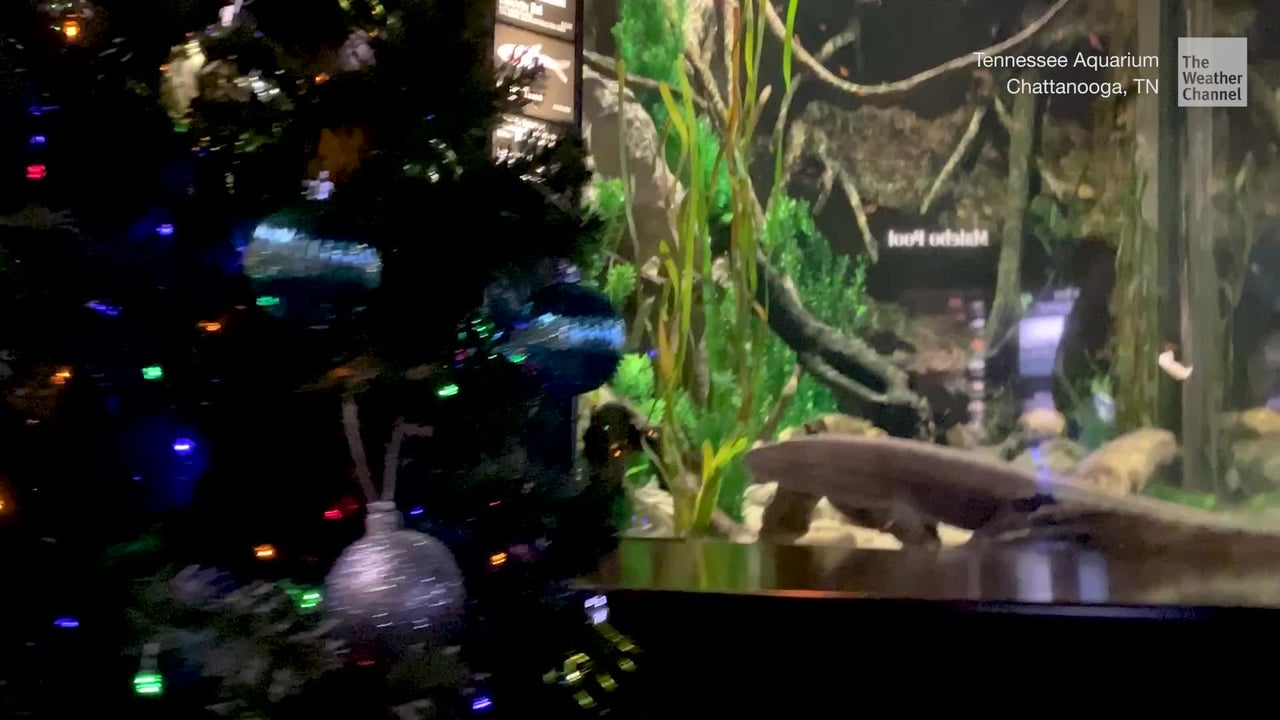 "An electric eel named ""Miguel Wattson"" at the Tennessee Aquarium seems to have a little holiday magic."