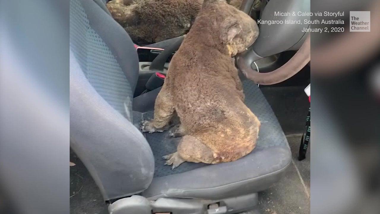 Family Loads Car with Koalas in Australia