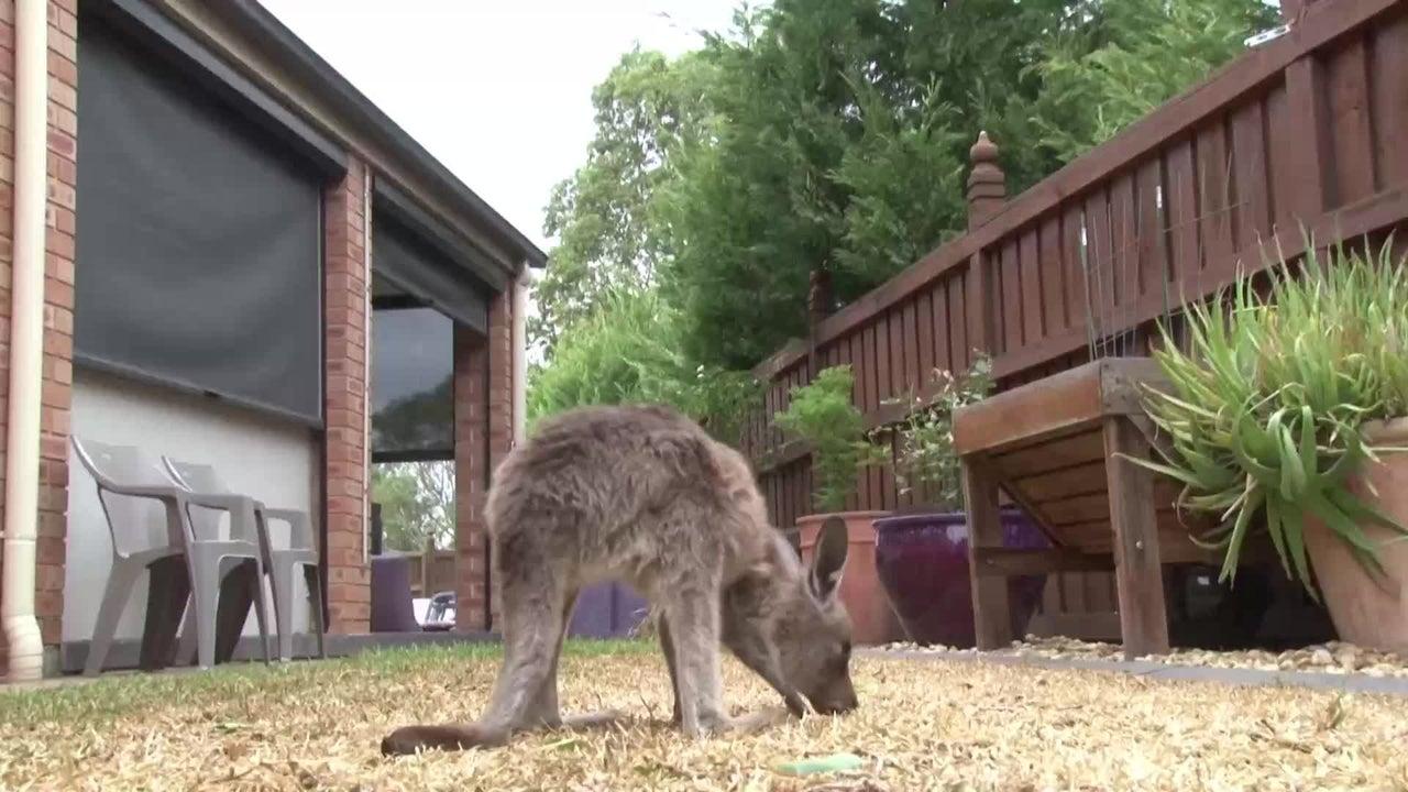 Diese Geschichte macht Mut: Eine freiwillige Helferin fand ein Kängurubaby im Beutel seiner sterbenden Mutter. Unglaublich, aber das Baby war unverletzt. Es trägt jetzt den passenden Namen: Chance.