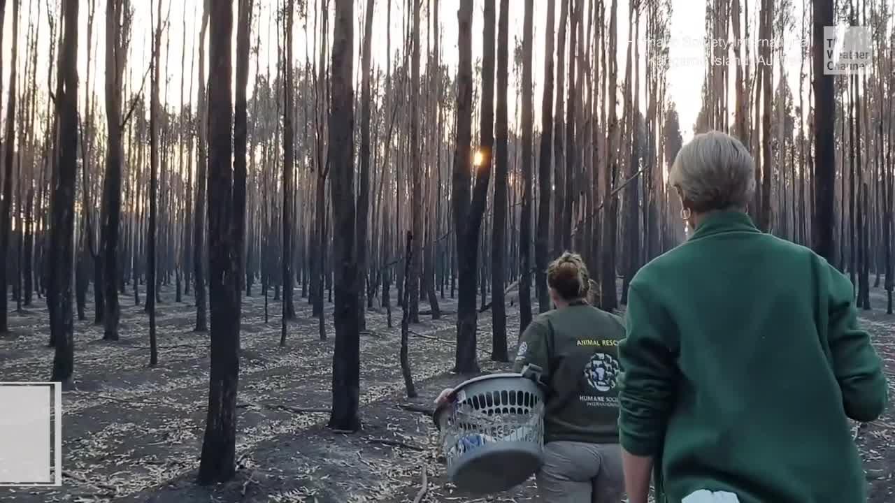 Verbrannte Landschaft, verkohlte Bäume und Tierkadaver: Auf Kangaroo-Island sieht es apokalyptisch aus. Die Helfer stellen Wasser und Nahrung bereit, um die Tierwelt zu retten.
