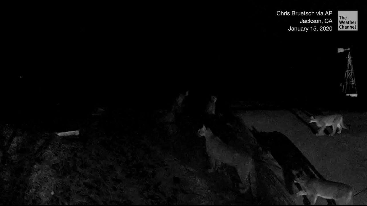 Mehrere Wildtierbiologen sahen sich die Aufnahmen an - keiner konnte sich daran erinnern, fünf Berglöwen jemals zusammen gesehen zu haben.