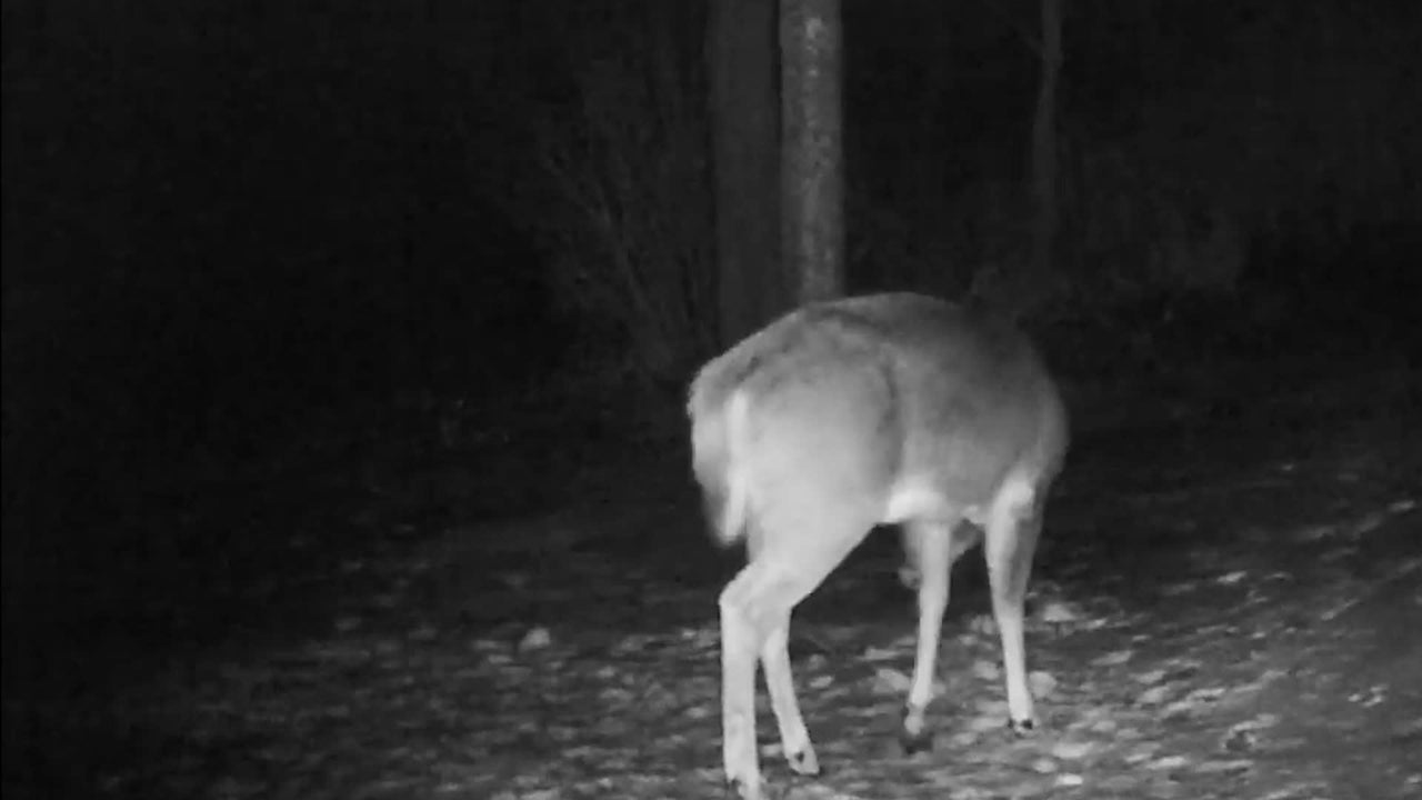 A trail camera in Vermont catches an incredible sight -- a buck shaking off its antlers.