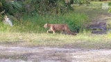 Endangered Florida Panthers Spotted in Collier County