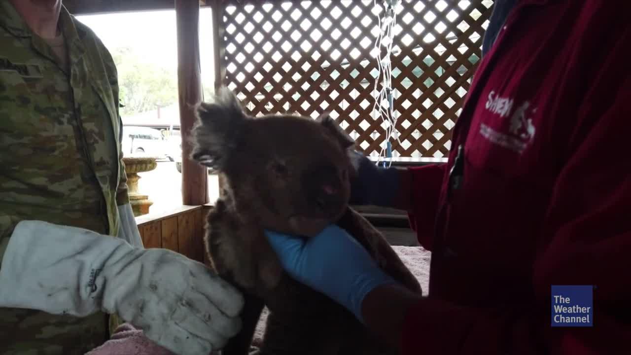 Die Buschbrände in Australien haben den Koalas in New South Wales stark zugesetzt. Erste Erhebungen zeigen nun, wie stark die Koala-Populationen wirklich unter den Feuern leiden.