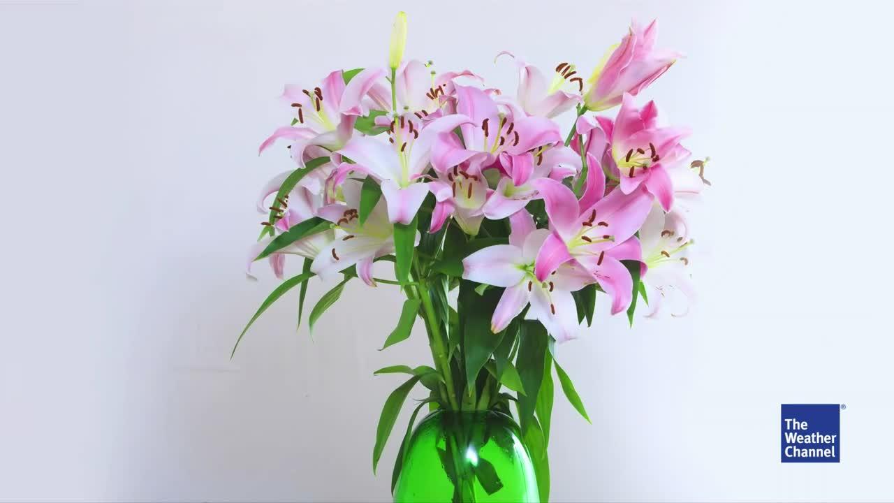 Sei es zum Geburtstag, Jahrestag oder einfach nur so: Über einen schönen Blumenstrauß freuen sich die meisten. Schade ist es, wenn Schnittblumen schon nach kurzer Zeit welken. Damit das nicht passiert sollten Sie schon beim Befüllen der Vase alles richtig machen.