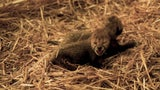 Cheetah Cubs at Columbus Zoo Make History