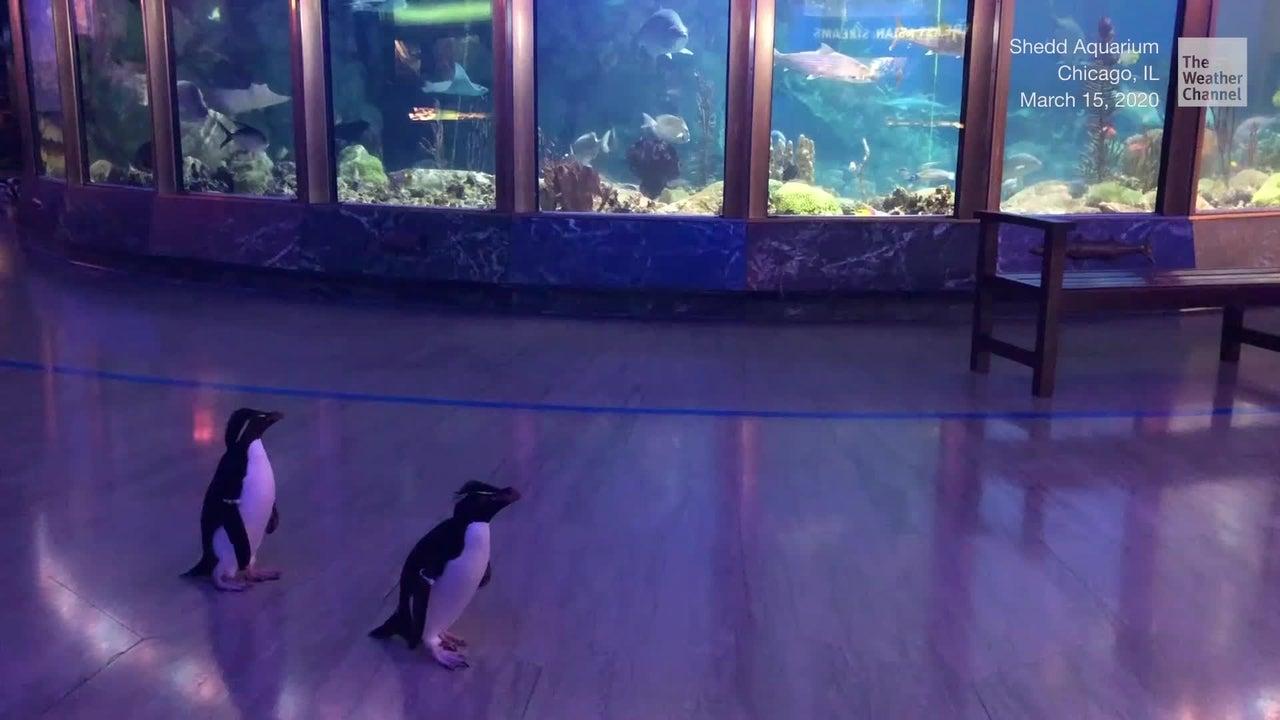 Das Shedd Aquarium in Chicago wurde wegen des Coronavirus geschlossen. Daraufhin starten die Pinguine einfach kurzerhand ihre eigene Entdeckungstour.
