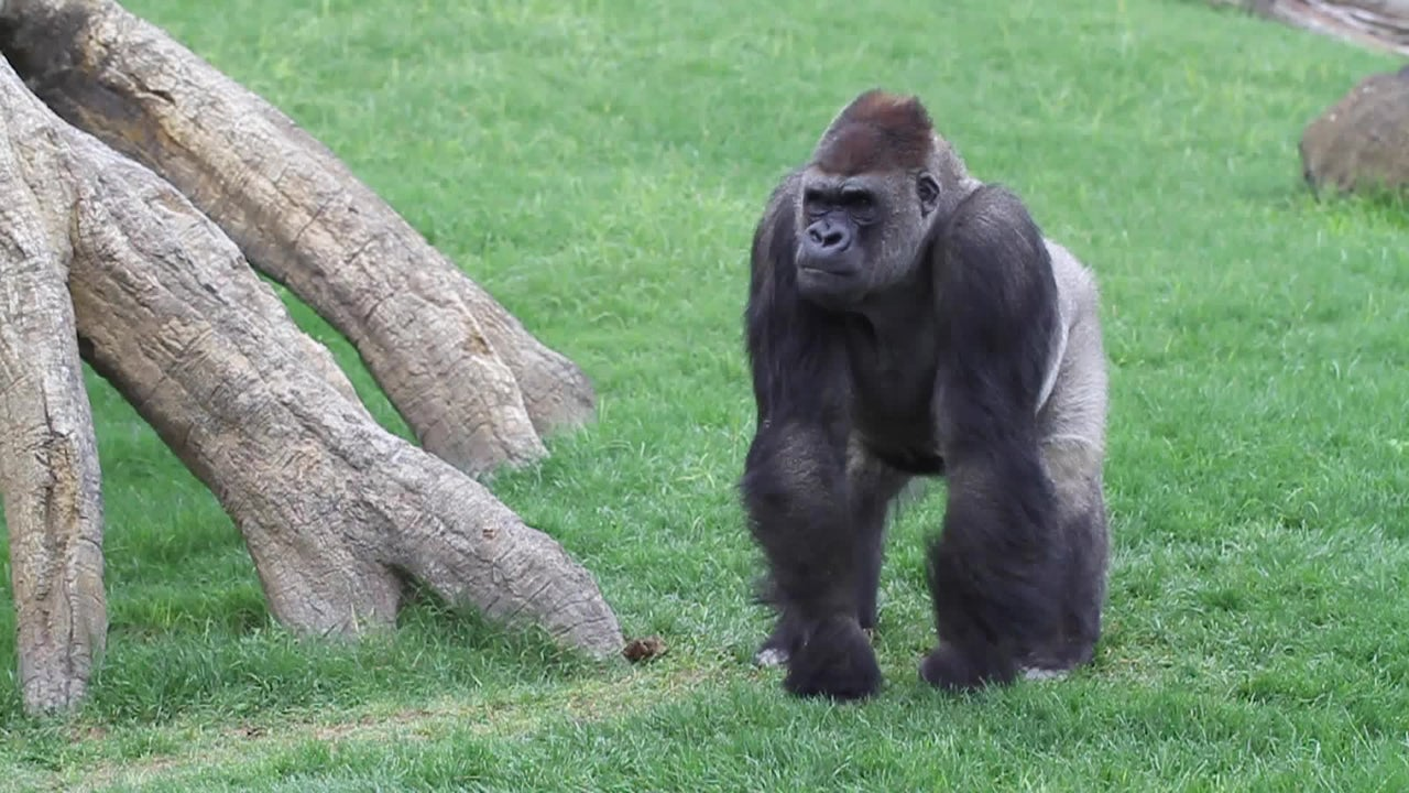 Could Great Apes Get Coronavirus? Scientists Say it's Possible