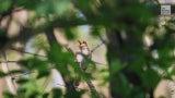 ¿Cambio climático silenciando a pájaros?