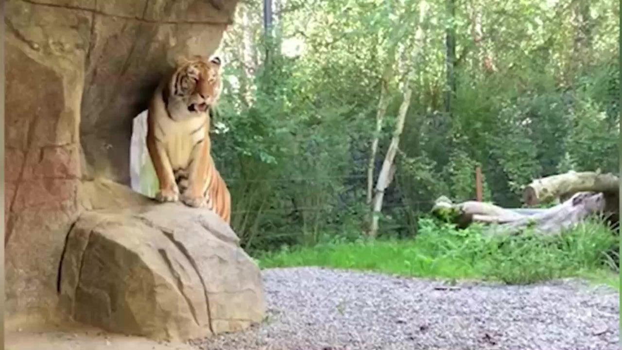 Tigerdame Irina fiel bisher nie negativ auf - jetzt verletzte sie eine 55 Jahre alte Pflegerin im Zoo Zürich tödlich. Wie genau es dazu kam, ist noch unklar.