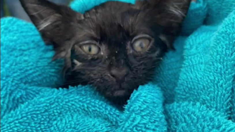 Kitten Rescued From Storm Drain During Tropical Storm Fay