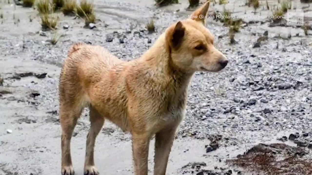 Eine uralte Hunderasse, die seit 50 Jahren größtenteils als ausgestorben galt, wurde nun erstmals wieder in freier Wildbahn in Neuguinea gesichtet.