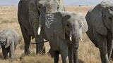 Intense Poaching May Have Led to Tuskless Elephants