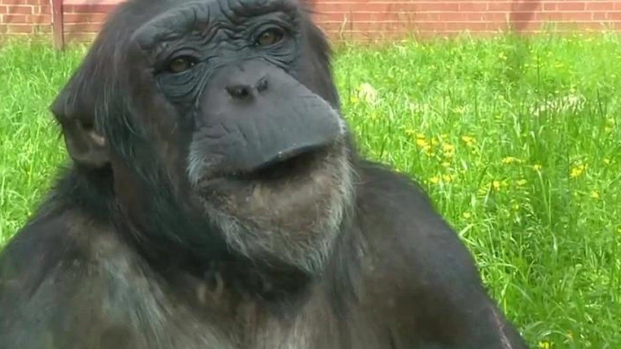 So klingt es, wenn Forscher Affen sprechen lassen