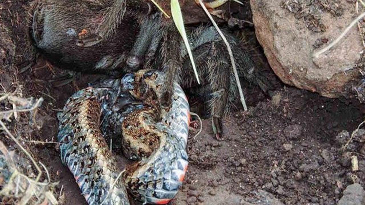 Blutiger Kampf zwischen Spinne und Schlange nimmt plötzlich gruseliges Ende