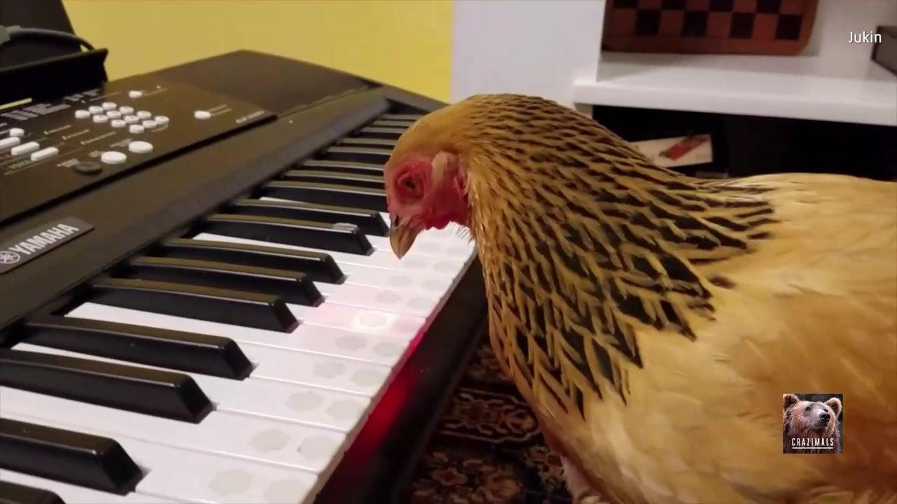 Patriotisches Huhn begeistert Amerikaner