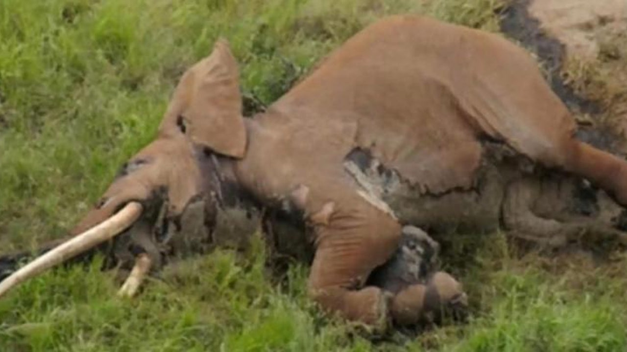 "Riesenelefant ""Satao II"" in Kenia getötet"