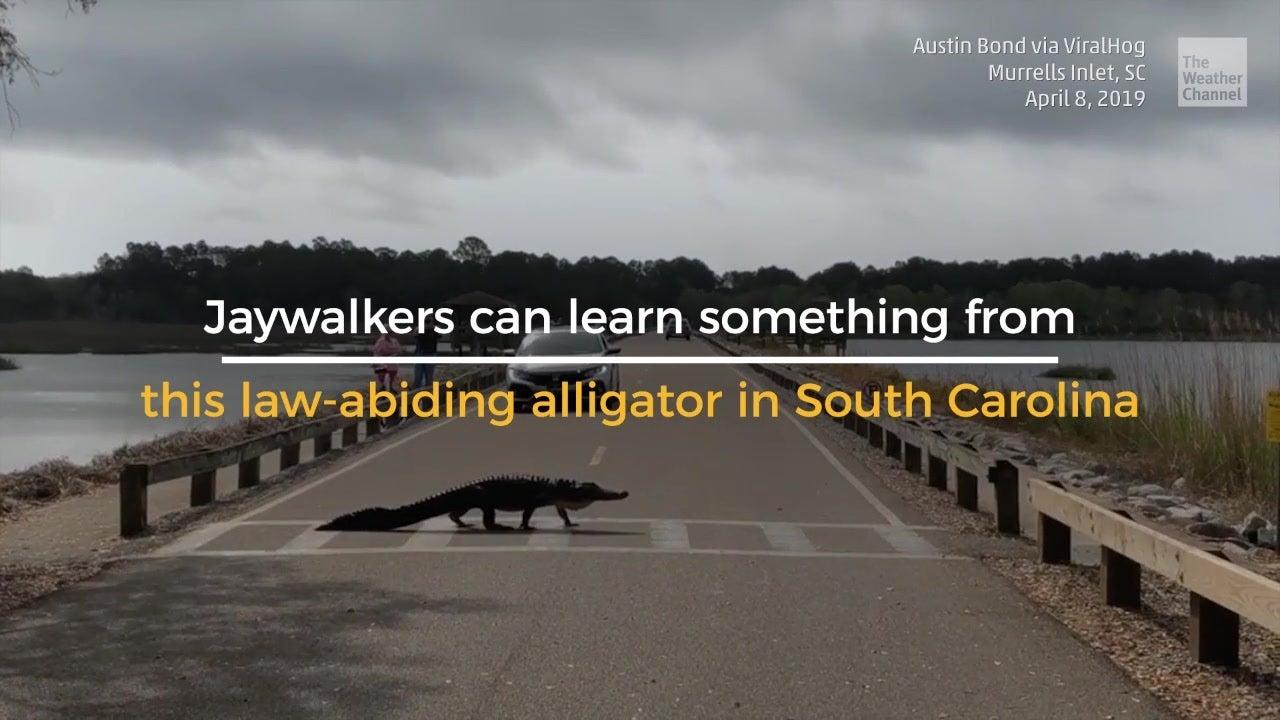 Gator Uses Crosswalk