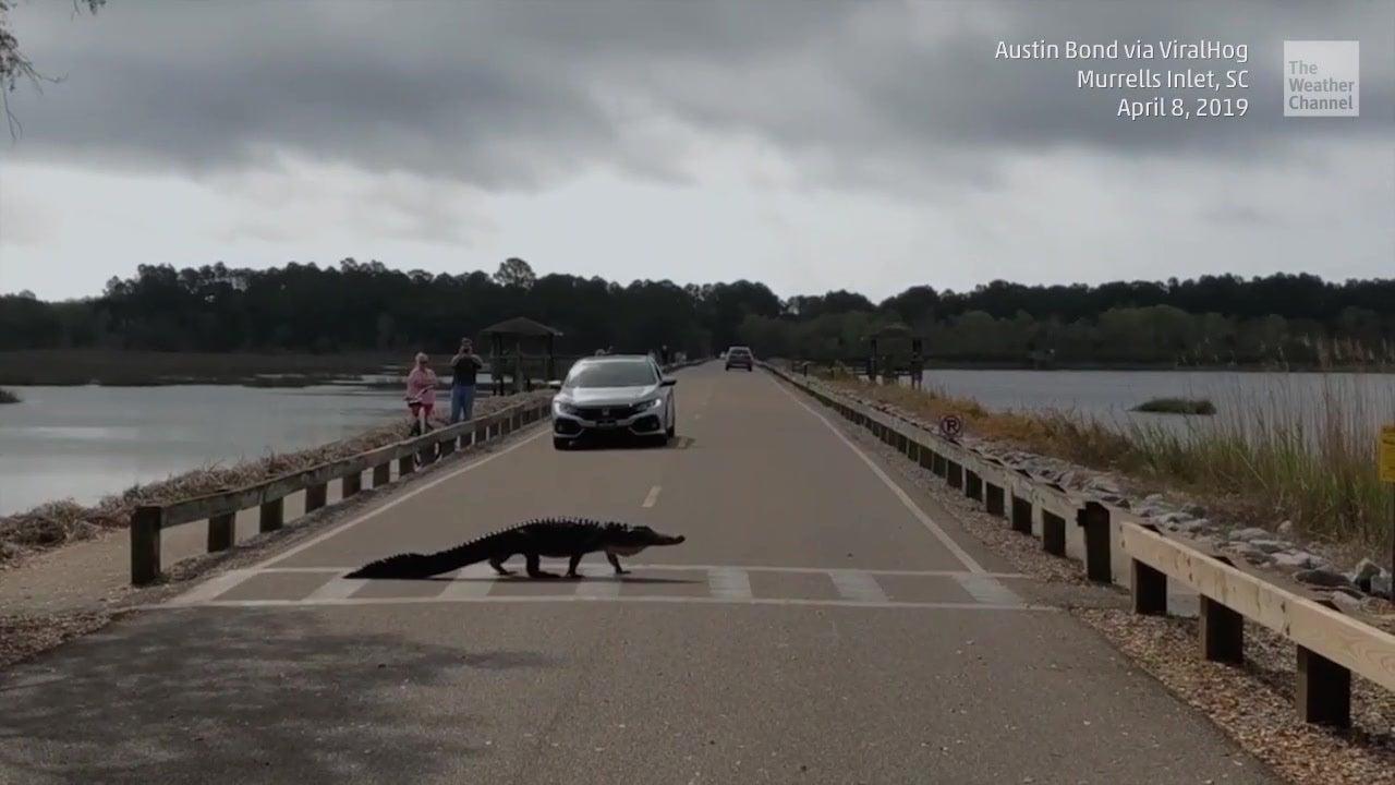 Überraschender Anblick: Alligator hält sich an Verkehrsregeln