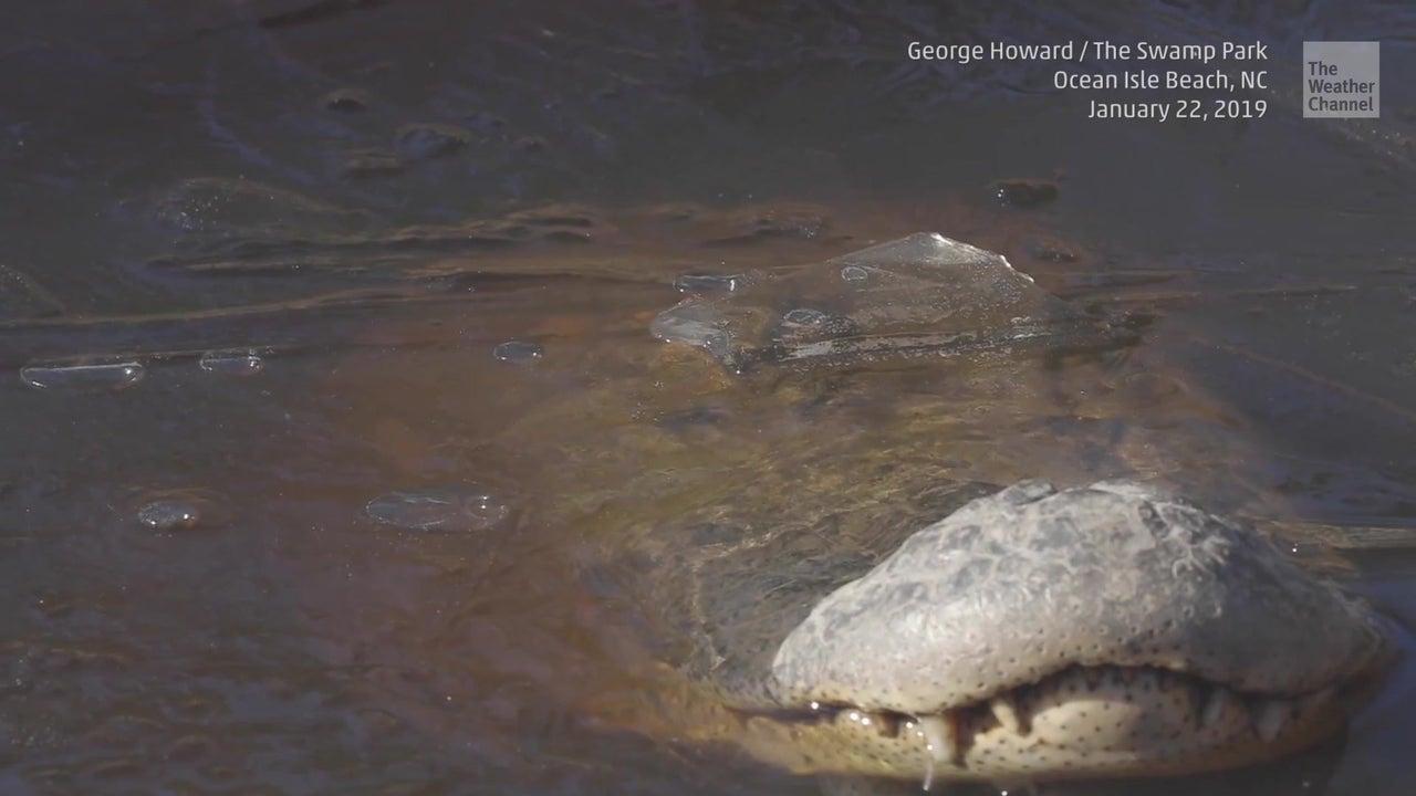 So wehren sich Alligatoren gegen die Eiseskälte
