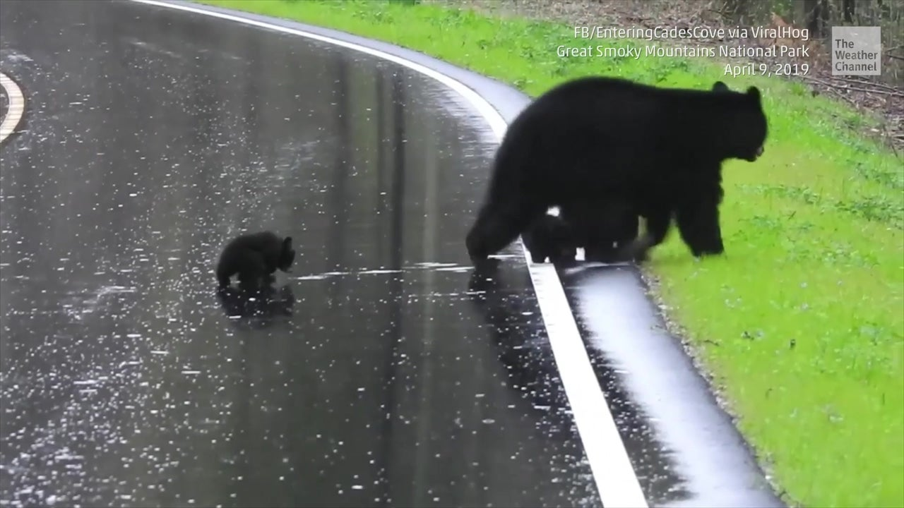 Mama Bear Teaches Cubs to Cross the Road