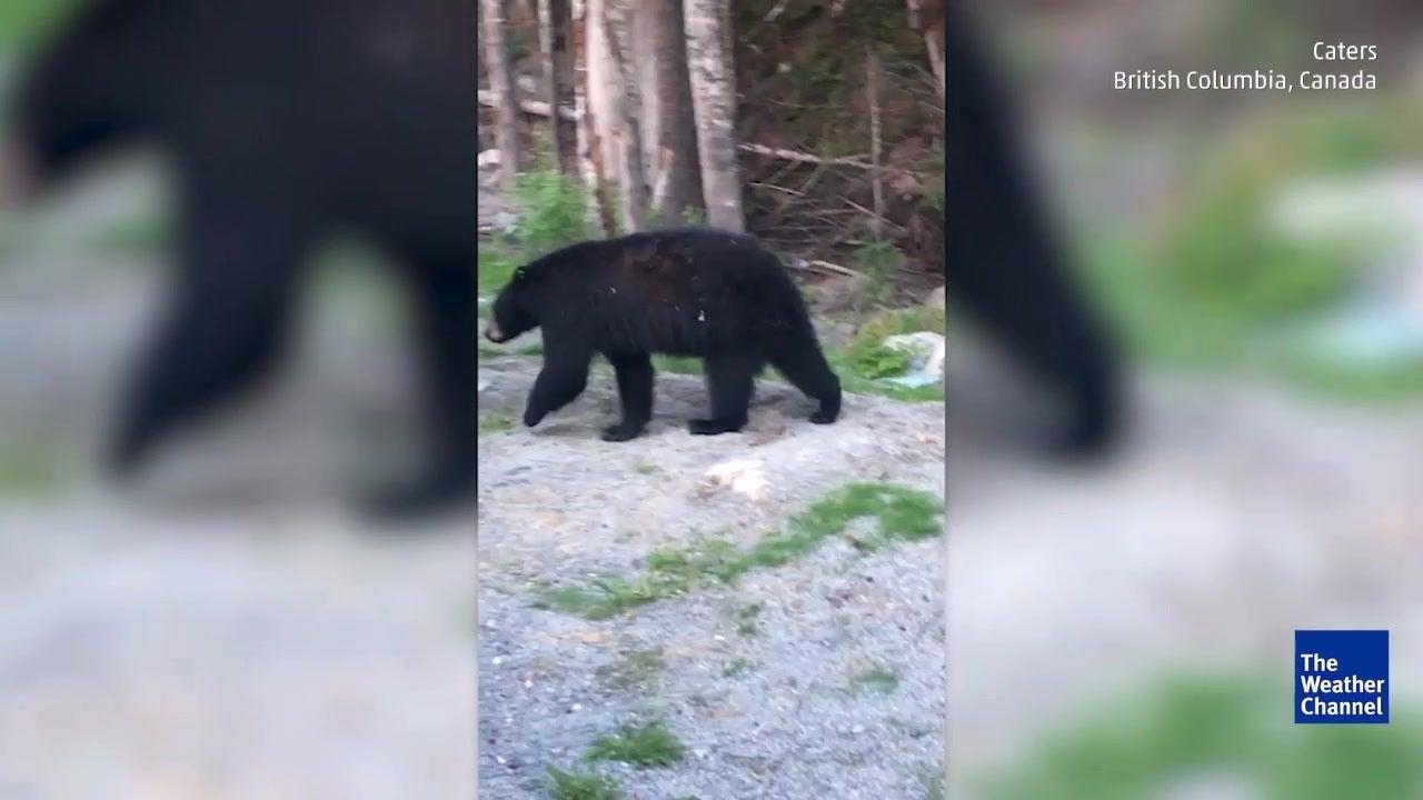 Bear Makes Itself Right at Home