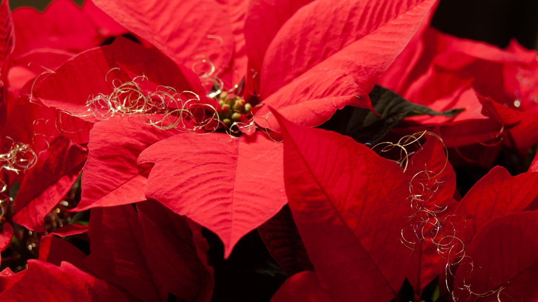 Trick: So erstrahlt ihr Weihnachtsstern auch im nächsten Jahr noch