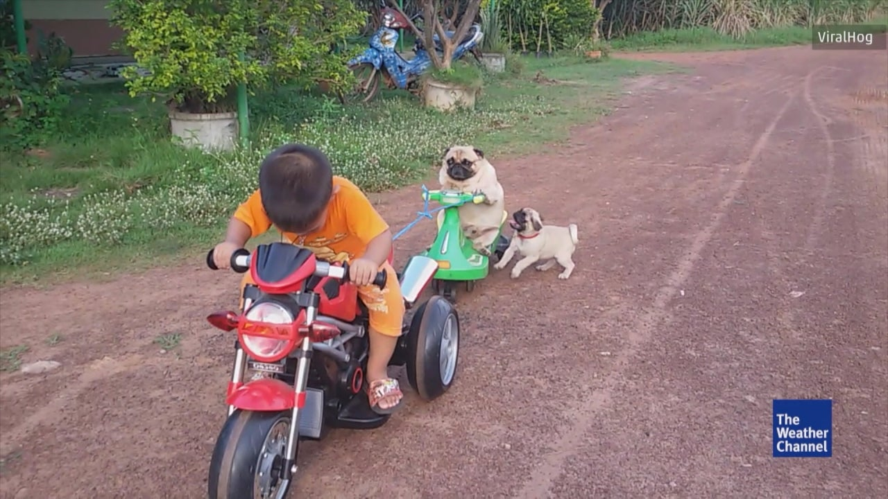 This Little Pug Just Wants To Be A Biker!