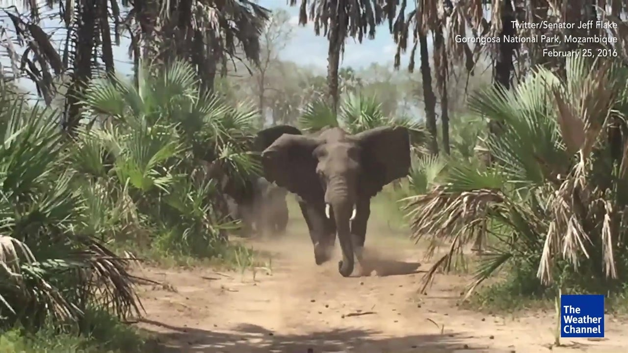 Angry elephant charges politician