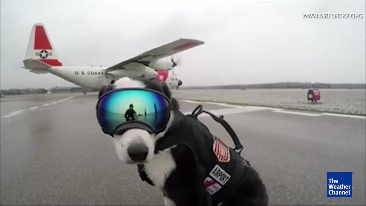 This dog patrols Michigan airport runway