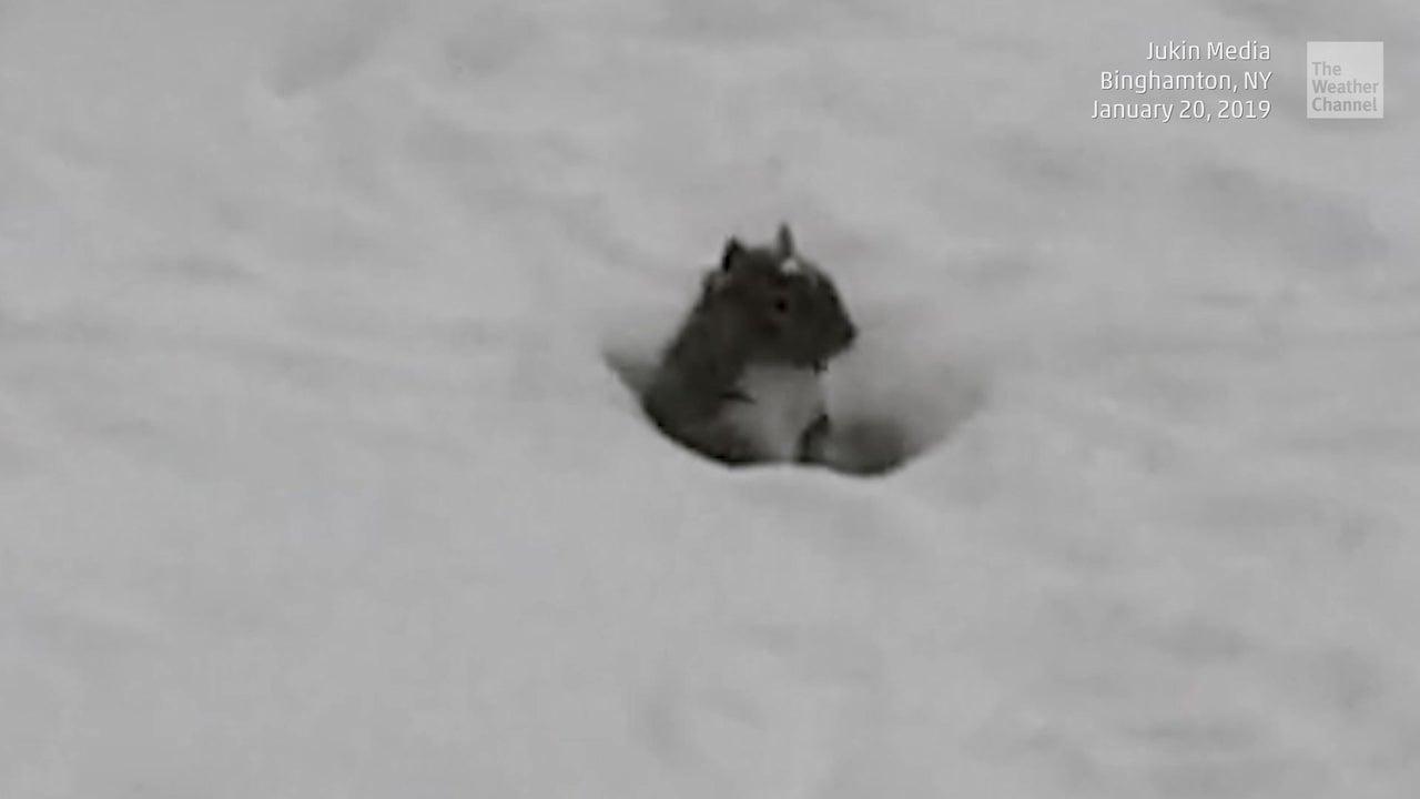 Eichhörnchen spielt Verstecken im Schnee