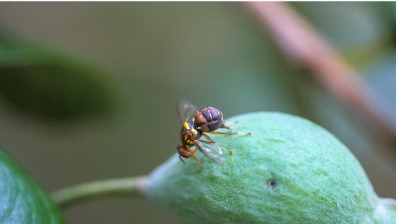 Fruchtfliege löst Alarm in Neuseeland aus