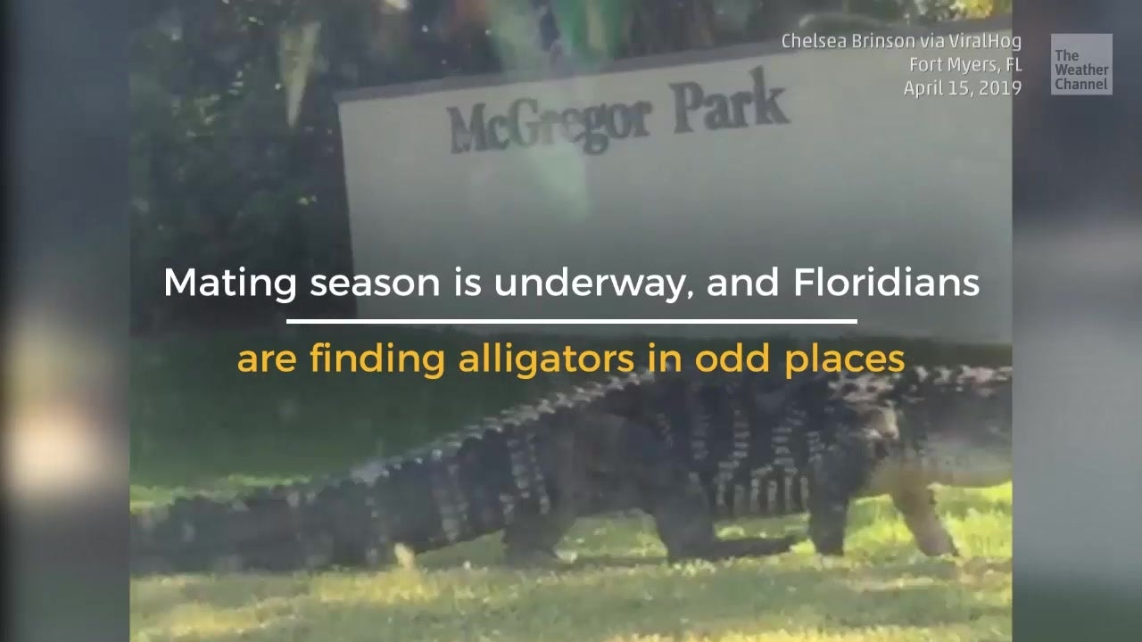 Florida Just Became Tinder for Alligators