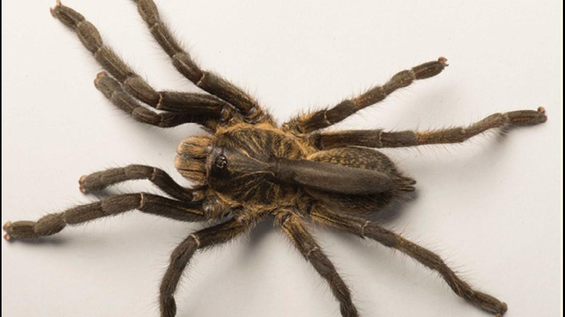 Wissenschaftler finden neue Vogelspinnenart