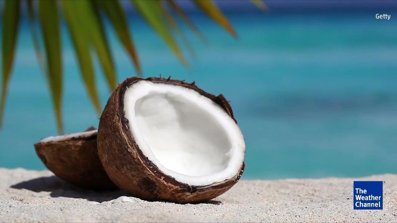 Kokosnussknappheit in der Karibik