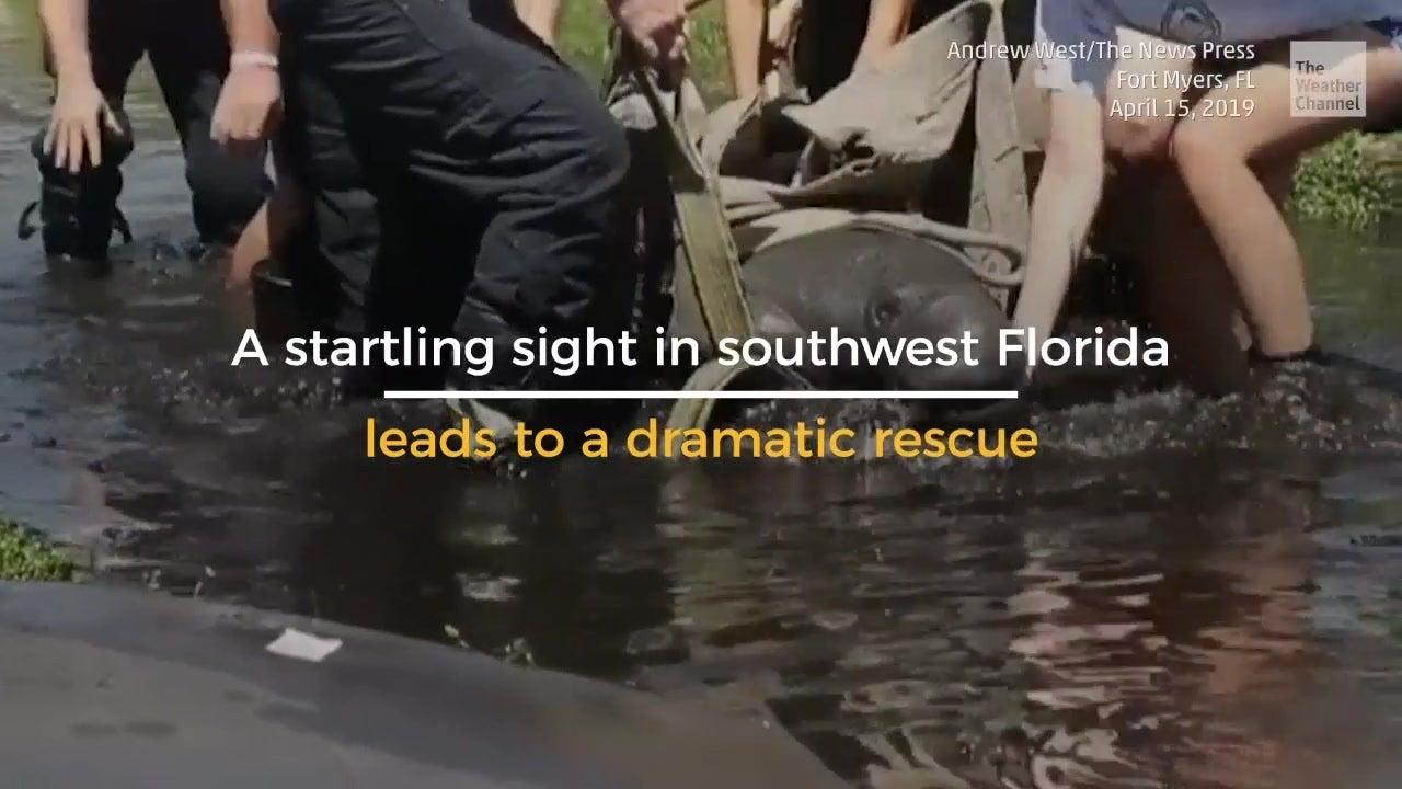 Dramatic Manatee Rescue