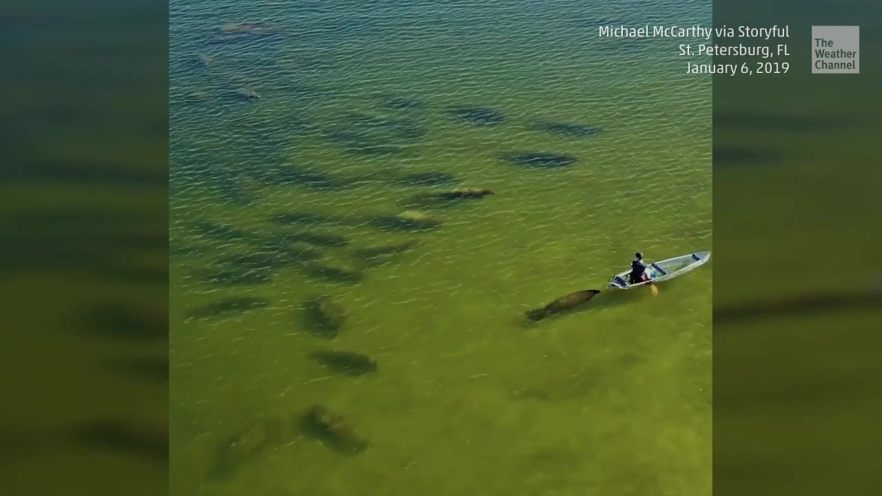 Curious Manatee Pushes Man in Clear Canoe