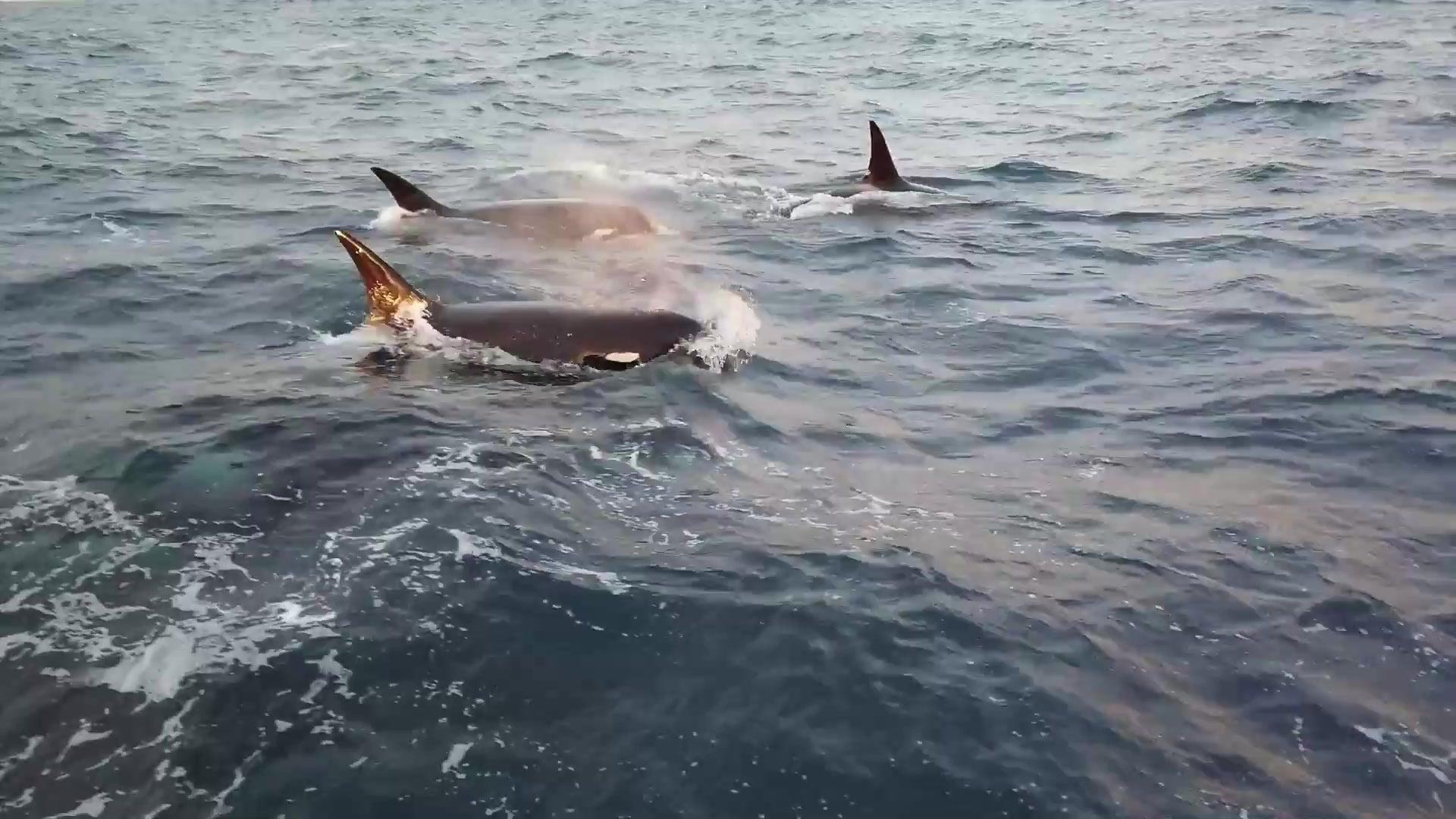 Wissenschaftler entdecken neue Art von Killerwalen