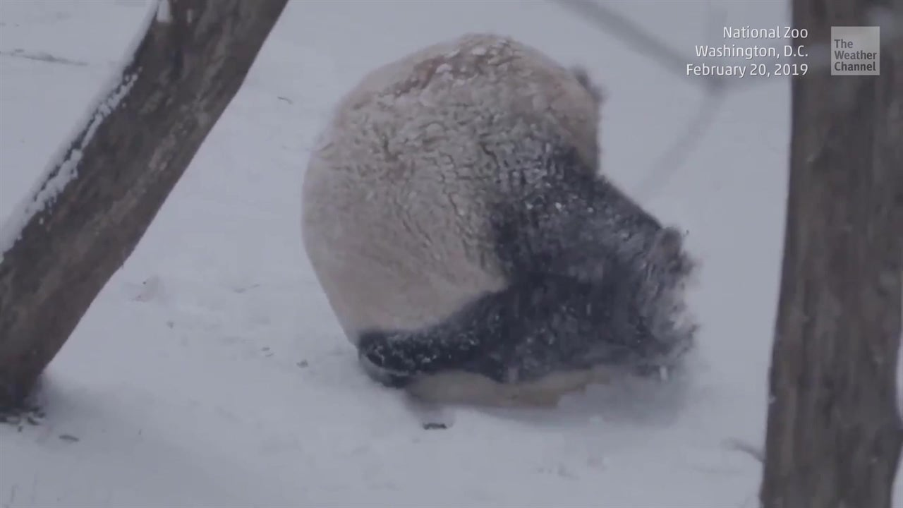 Watch: Panda enjoys Winter Storm Petra