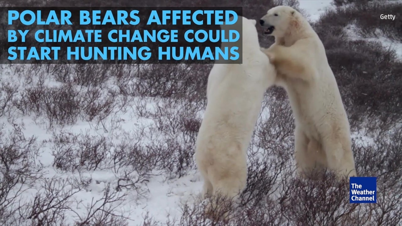 Polar bear attacks on humans could increase
