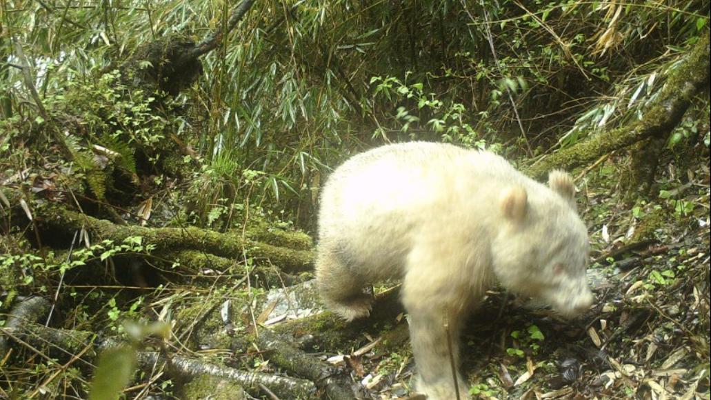 Seltener Albino-Panda in China gesichtet