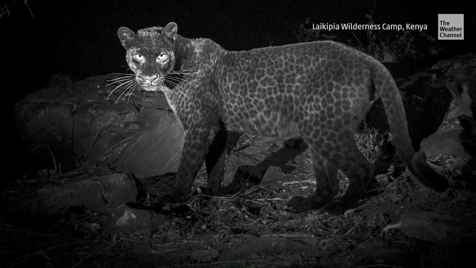 Seltener schwarzer Leopard das erste Mal seit 100 Jahren gesichtet