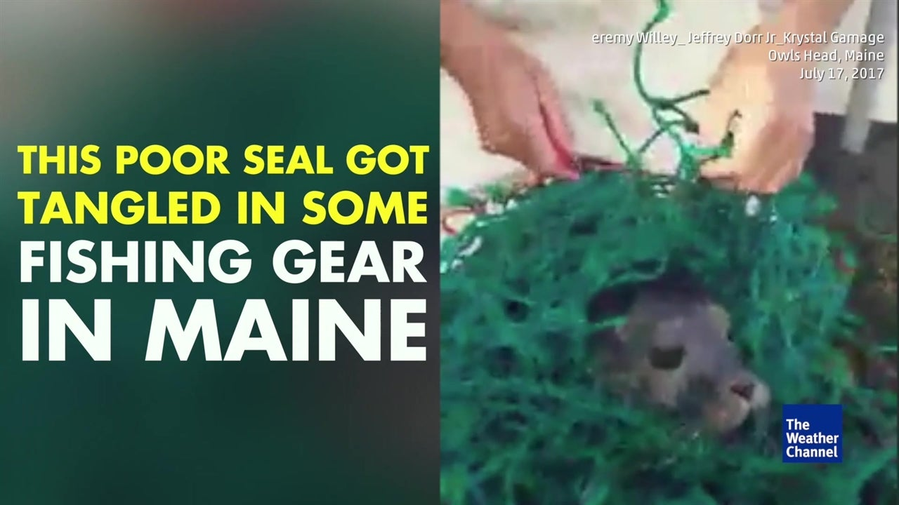 Watch:  Seal trapped in net set free
