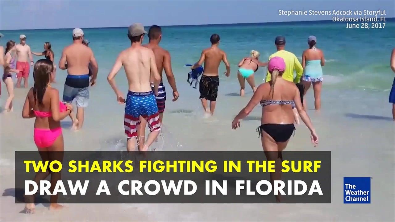 Watch: Fighting sharks draw a crowd